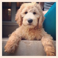 IS THIS CUTE OR WHAT!!!!!  goldendoodle puppy