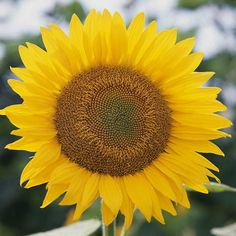 Nothing beats this classic annual, but did you know it may bloom in other colors? Check these sunflowers out: http://www.bhg.com/gardening/flowers/annuals/best-annuals-for-cutting/?socsrc=bhgpin032515annualsunflower&page=7