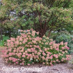 Little Lime® Hydrangea displays beautiful fall color.  This shrub is stunning planted in front of this tree.