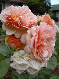 David Austin English Roses ~ 'Wildeve' + 'The Garland'
