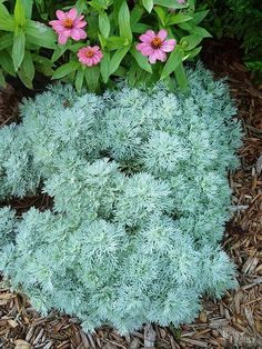 Keep foliage color in mind when you plan your perennial border. Plants with colorful foliage such as artemisia will keep the garden looking good while flowering plants go in and out of bloom. Artemisia has beautiful silver-gray foliage that won't fade in the hot sun. This hardy perennial is also drought and insect resistant, and the branches make a wonderful addition to indoor flower arrangements. Height varies by variety and can range from 3 feet tall to just 5 inches. Grows in Zones 4-9.