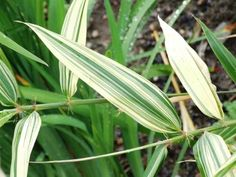 Bambus mieszańcowy 'Shiroshima' - Byliny - Baza roślin - rosliny.urzadzamy.pl