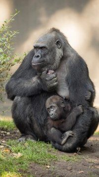 Animal Gorilla Monkeys Animals Gorilla Wallpaper Gorilla