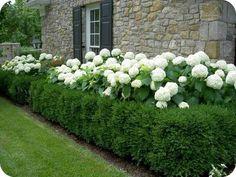 ГОРТЕНЗИЯ МЕТЕЛЬЧАТАЯ. http://dachnica.com.ua/flower/prekrasnaja_gortenzi_2847.html #цветы #сад #огород #консервация