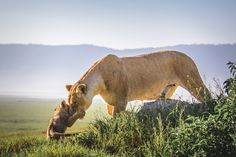 A lioness shows a young cub tenderness in the Ngorongoro crater which is seen in the background. The crater covers 264km and is one of the world's largest volcanic calderas not filled with water. These lions have survived against all the odds after a flood in 1962 brought with it a biting fly that weakened the population and narrowed the genetic pool. However following huge conservation efforts from the Serengeti Lion Project working with the Maasai, the population seems to be recovering.