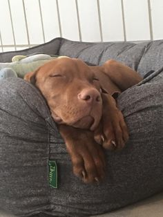 Please don't disturb! I am having my office nap. #bossmo #officedog #vizsla