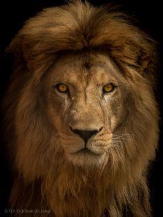 __Lion__ -