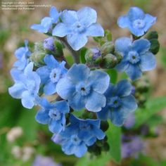 Chinese Forget-Me-Not 'Firmament'  Cynoglossum amabile
