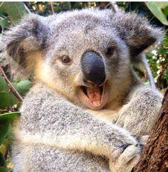 Breakfast with koalas and other cuddly toys Yawning koala bear by Na … Smiling Animals, Happy Animals, Cute Funny Animals, Cute Baby Animals, Animals And Pets, Koala Baby, Cute Koala Bear, Baby Otters, Australian Animals