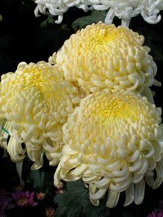 Pomposas~~~ - My site Flora Flowers, All Flowers, Yellow Flowers, Beautiful Flowers, Small Natural Garden Ideas, Floating Flowers, Chrysanthemum Flower, My Secret Garden, Zinnias