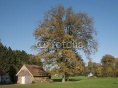 Alter Baum im Herbst in der Sennelandschaft in Lipperreihe bei Oerlinghausen am Teutoburger Wald in Ostwestfalen-Lippe