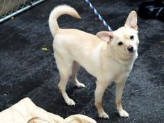 TO BE DESTROYED - SUNDAY - 5/25/14 Manhattan Center -P ***NEW PHOTO***  My name is MILO. My Animal ID # is A0804165. (aka RONGUS - A0804165 Alternate ID#: A0999562)  I am a neutered male tan chihuahua sh mix. The shelter thinks I am about 5 YEARS old. https://www.facebook.com/photo.php?fbid=809135945765953&set=a.611290788883804.1073741851.152876678058553&type=3&theater