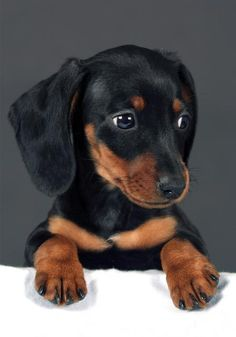 Black and Tan Dachshund 😍 - Hunde - Puppies Weenie Dogs, Dachshund Puppies, Dachshund Love, Cute Puppies, Dogs And Puppies, Daschund, Dapple Dachshund, Adorable Dogs, Baby Dogs