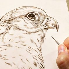 Gyrfalcon sepia watercolor on board Rebecca Latham - one of several new falcon studies of the Midwest Peregrine Society's birds.  #wildlife #watercolor #art #animal #painting #miniature #artist #miniatureart #realism #animallovers #falconry #falcon #falcons #gyr #gyrfalcon #birdsofprey #raptor #birds #birdlovers #workinprogress #naturalism