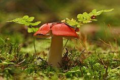 Giftpilz Grün Herbst Kirschroter Speitäubling  Moos Pilz Pilze Rot Russula emetica Täubling Wald