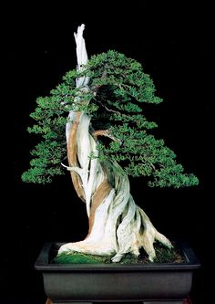 Sheer power displayed by another California native. This photo of a now famous California juniper (Juniperus californica) is originally from a chapter by Ernie Kuo in BonsaiBark.com Masters' Series Juniper Bonsai book (back in print in November, 2015) that's titled 'Two Studies.' A wonderful example of deadwood that is beautifully done. There are other beautiful Bonsai in this article.
