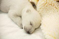 polar bear cubs | December 15th, 2013 - Day 36
