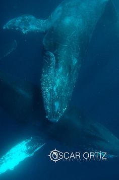 Humpback whales off the coast of Los Cabos, Mexico Cabo's Wild Locals – Experience Sea Life with Cabo Expeditions - See more at: http://www.cabovillas.com/blog/?p=2403#sthash.hvRIG3cI.dpuf #travel #Mexico #dolphin #SeaofCortez #LosCabos #ecotour #ecotourism #wildlife #whale #whalewatching #Cabo