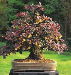 Bonsai Tree Histories: Berberis Bonsai Case History (berberis thunbergii)