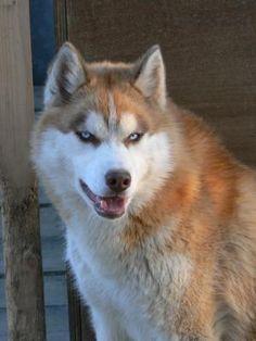 Husky roux