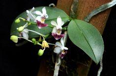 Rare Phalaenopsis Orchid | Rare orchid species seedling - Phalaenopsis Parishii | eBay