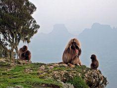 Galeda baboon at Simian Mountains