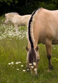 Fjord horses in the meadow. This angle lets you clearly see the unique coloring in a Fjord horse's mane.