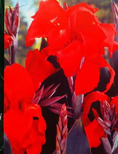 Canna Lily BLACK KNIGHT  1 bulb by OurGrandmothersAttic on Etsy, $6.99