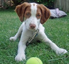 Had a Brittany Spaniel growing up... I want to get another one someday.