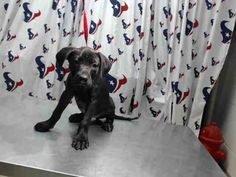 SARAH - ID#A460504 - URGENT - Harris County Animal Shelter in Houston, Texas - ADOPT OR FOSTER - GROWING UP IN THE SHELTER *PLEASE SHARE* - I am going to the next mobile adoption event. Call the shelter for details - 16 WEEK OLD Spayed Female Labrador Retriever - at the shelter since Jun 02, 2016.