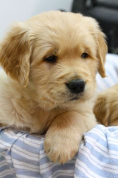 Adorable Little Baby Golden Retriever Puppy - Aww! Golden Retrievers, Chien Golden Retriever, Cute Puppies, Cute Dogs, Dogs And Puppies, Doggies, Cavapoo Puppies, Funny Dogs, Animals And Pets