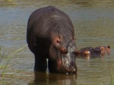 Someone with a Hippo Personality gives the impression of being sluggish and absent minded. But there's a watchfulness in those half-shut eyes Personality Types, Eyes, Lifestyle, Luxury, Cat Eyes