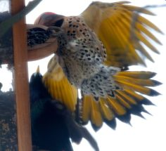 male Northern Flicker takes on a classic threat display to make ...