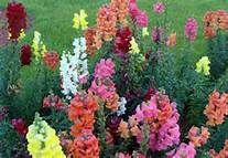 "snapdragon - mix tall - 30"" ws - in ground 2x - 6/20/13"