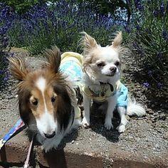 おはようございます。 やっと金曜日。 今日は夜まで予定がギッシリ。 ややオーバーヒート気味ですが、頑張ります٩( ᐛ )و  #わんこ #愛犬 #犬 #いぬ #チワワ #ロンチー #チワワ部 #シェルティー #シェットランドシープドッグ #chihuahua #chihuahualove #sheltie #shetlandsheepdog #dog #pet #dogstagram #petstagram #かわいい #河口湖 #あちち