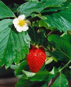 10 hlavných bodov pre úspešné pestovanie jahôd Nature, Flora, Flowers, Garden, Hydroponic Strawberries
