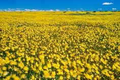 Flowering namaqua daisies, Asteraceae family, Goegap Nature Reserve, Namaqualand, South Africa. Now this really cheers you up!