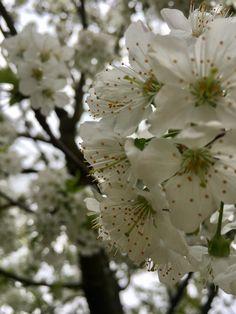 Cseresznyefa virágzás - Kirscbäume blühen - Cherry trees bloom