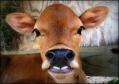 Silly brown Swiss