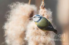 Blue Tit - Photo by Jivko Nakev