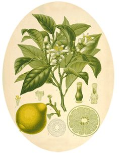 Bergamot is a strong, uplifting and woody scent with a hint of citrus. It helps skin complaints such as excema and acne.
