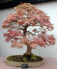 Come With Me To The Sea Of Love Bonsai Plants Art Seeds
