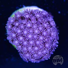 Purple Micro Goniopora