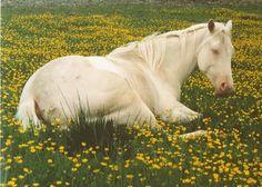 American Quarter Horse cremello mare Holly Cream Cat.