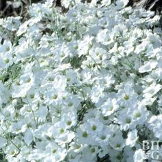 Billowing mounds of crystalline white flowers float over snow-in-summer's silvery foliage. It makes a delightful accent to a stone wall, p. Full Sun Ground Cover, Ground Cover Plants, Shrubs For Landscaping, Garden Shrubs, Landscaping Ideas, Snow In Summer, Full Sun Perennials, Deer Resistant Plants, Moon Garden
