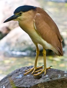 Nankeen Night Heron (Nycticorax caledonicus), also commonly referred to as the Rufous Night Heron, and in Melanesia as Melabaob, is a medium-sized heron. It is found throughout much of Australia except the arid inland, Indonesia, the Philippines, Papua New Guinea and Melanesia.