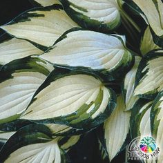 Hosta 'Island Charm'  This smaller specimen selection has creamy-white to yellow heart-shaped leaves with a streaky green edge. Pale purple flowers appear in July.