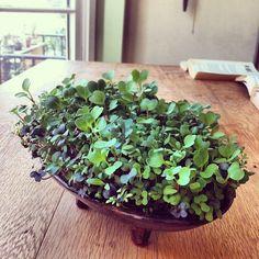 @@growing microgreens  dining table