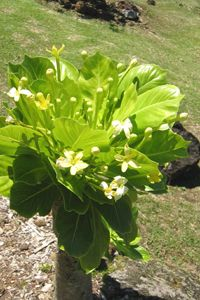 Plant - Brighamia insignis - native Hawaiian - alula - National Tropical Botanical Garden photo