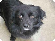 Aw, this Pomeranian mixed boy doesn't have a name! He is neutered. Someone adopt, please!